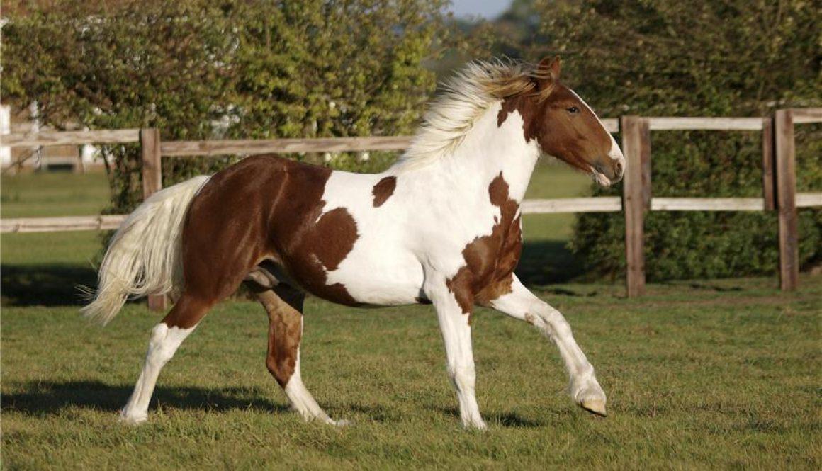 paint-horse